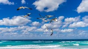 Seagulls walczy w powietrzu Obrazy Royalty Free