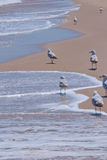 Seagulls Walk on Peaceful Beach. Seagulls walk along the edge of the water and sand on a peaceful day at the beach. Waves gently lap on the shore Royalty Free Stock Photography