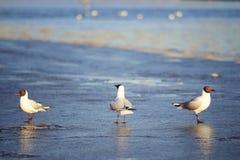 Seagulls walk on  sandy beach Royalty Free Stock Photography