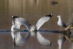Seagulls walka Obraz Stock