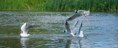 Seagulls walka dla ryba Obrazy Stock