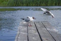 Seagulls walka dla ryba Zdjęcia Royalty Free