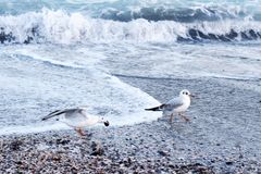 Seagulls walking along the Black Sea coast. In search of food stock photos