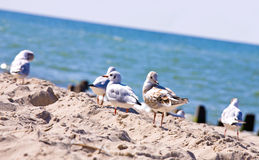 Seagulls walking on the beach Royalty Free Stock Images
