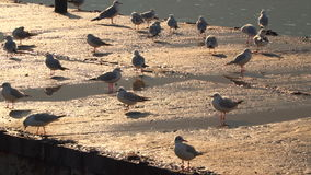 Seagulls walking on the pier lit by the evening sun stock footage