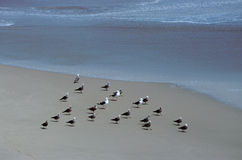 Seagulls walking on sandy beach Royalty Free Stock Photo