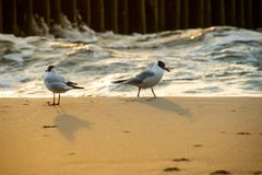Seagulls walking on the sea sand in the evening sun rays against the sea waves royalty free stock image