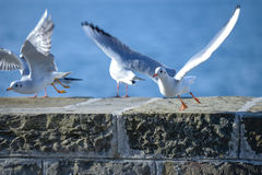Seagulls on a wall. Seagulls flying from a wall in front of a sea Royalty Free Stock Photo