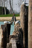 Seagulls warm themselves while sitting on mooring posts in Venice, Italy Royalty Free Stock Images