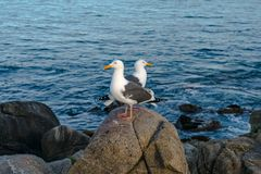 2 Seagulls watching eachothers back royalty free stock photography