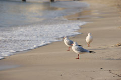 Seagulls watching sunset on shore Stock Photography