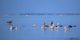 Seagulls on water. Group of seagulls standing on water, one with wings open, by sunset stock image