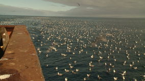Seagulls on water behind a board of the fishing trawler. stock footage