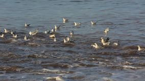 Seagulls on Water. Footage of seagulls floating on the sea in Brittany. The environmental sound of waves and birds is present stock video