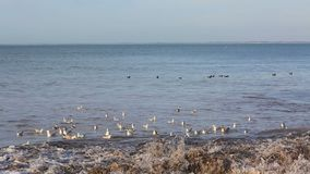 Seagulls on Water. Footage of seagulls floating on the sea in Brittany stock video