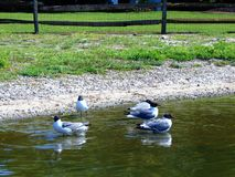 Seagulls. In the water by a lake shore stock photography