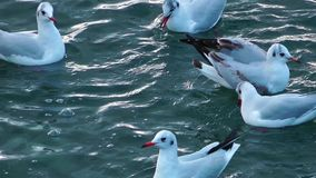Seagulls on the Water. Nice View of seagulls swimming on the sea water stock video footage