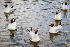 Seagulls in water Royalty Free Stock Photo