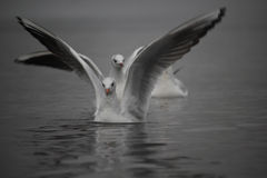 Seagulls on the water surface. Closeup shot of seagulls on the water surface stock image