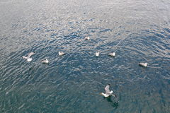 Seagulls on the water Stock Image
