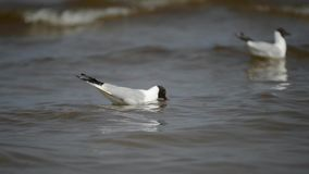 Seagulls in water stock footage