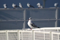 Seagulls at the waterfront. A segull standing on a pier with other seagulls in the background Stock Photography