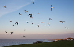 Seagulls in Whitstable. Royalty Free Stock Photo
