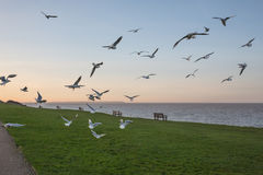 Seagulls in Whitstable. Stock Image