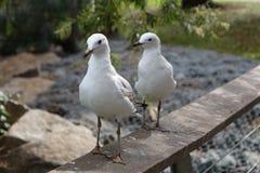 Seagulls - widzieć kopię Obrazy Stock