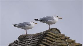 Seagulls in windy weather. Hd video footage of two british seagulls perched on rooftop trying to stay balanced in windy weather oct 2017 stock video footage