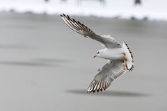 Seagulls at winter Stock Photo
