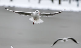 Seagulls at winter Royalty Free Stock Photography