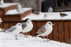 Seagulls at winter time Stock Photos