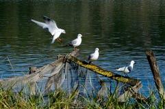 Seagull,bird,landing,lake,animal. Seagulls on the wood axes Stock Image