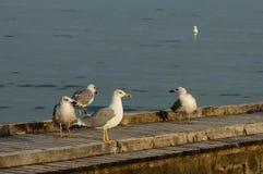 Seagulls at wood path in beach  of Lido di Jesolo, venetian Riviera Stock Images