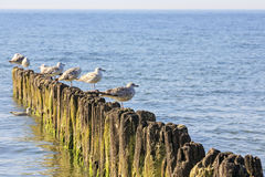 Seagulls and wooden breakwaters Royalty Free Stock Images