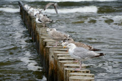 Seagulls on wooden palisade at baltic sea. Royalty Free Stock Photos