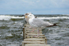 Seagulls on wooden palisade at baltic sea. Stock Images