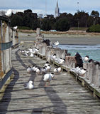 Seagulls on wooden pier. Flock of seagulls on wooden pier receding to beach on background Royalty Free Stock Photo