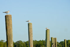 Seagulls on wooden poles. Stock Images