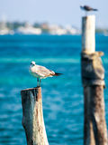 Seagulls on wooden stakes Royalty Free Stock Images