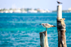 Seagulls on wooden stakes Royalty Free Stock Image