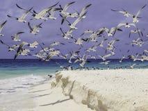 Seagulls wyrzucać na brzeg los roques Venezuela obrazy royalty free