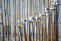 Seagulls z zmierzchem przy uderzenia Pu wyrzucać na brzeg Samutprakarn, Tajlandia zdjęcia royalty free