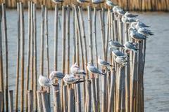 Seagulls z zmierzchem przy uderzenia Pu wyrzucać na brzeg Samutprakarn, Tajlandia fotografia stock