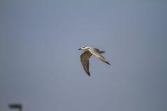 Seagulls znajdują ryba Fotografia Stock