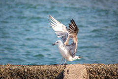 Seagullsammanträde på de vinkande vingarna för vågbrytare arkivbild