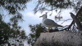 Seagullsammanträde på ett träd lager videofilmer