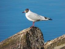 Seagullsammanträde på inloggningsfloden Royaltyfria Foton