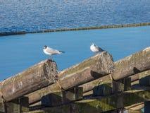 Seagullsammanträde på inloggningsfloden Arkivbild